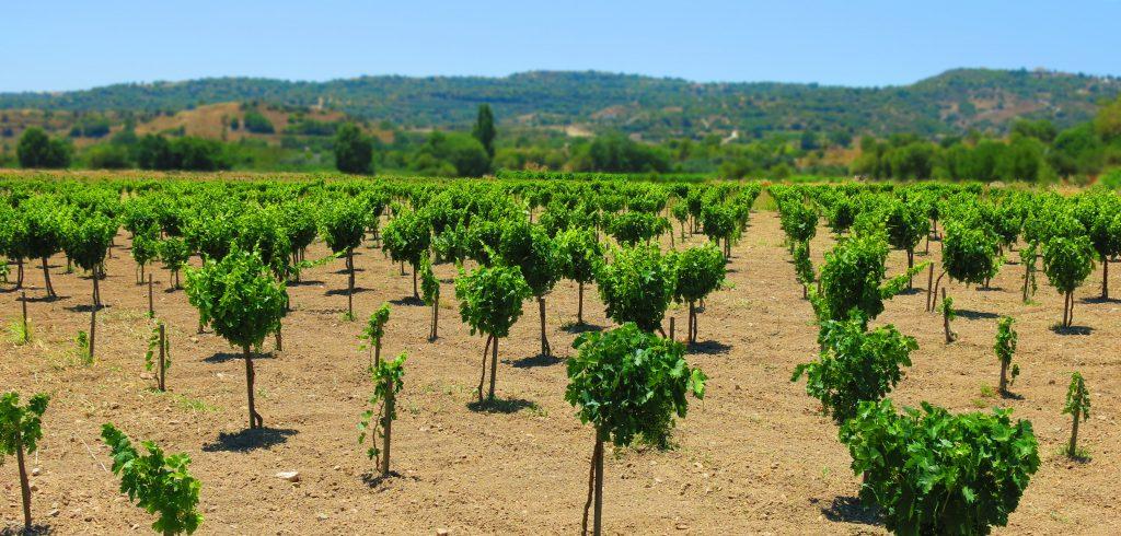 Choulou village vineyards