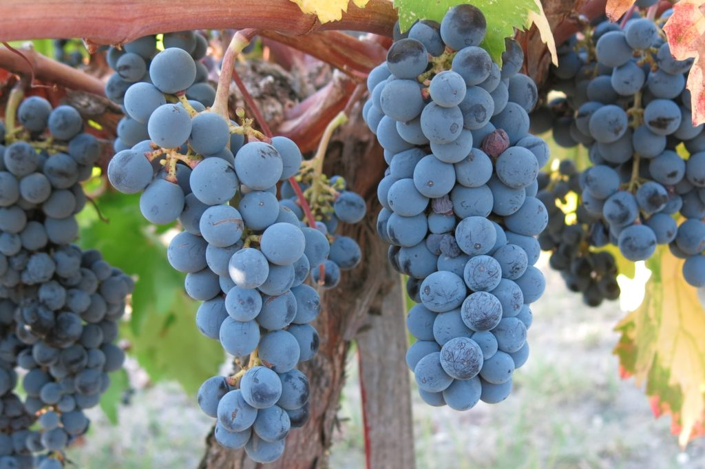 Giannoudi / Yiannoudi grape variety