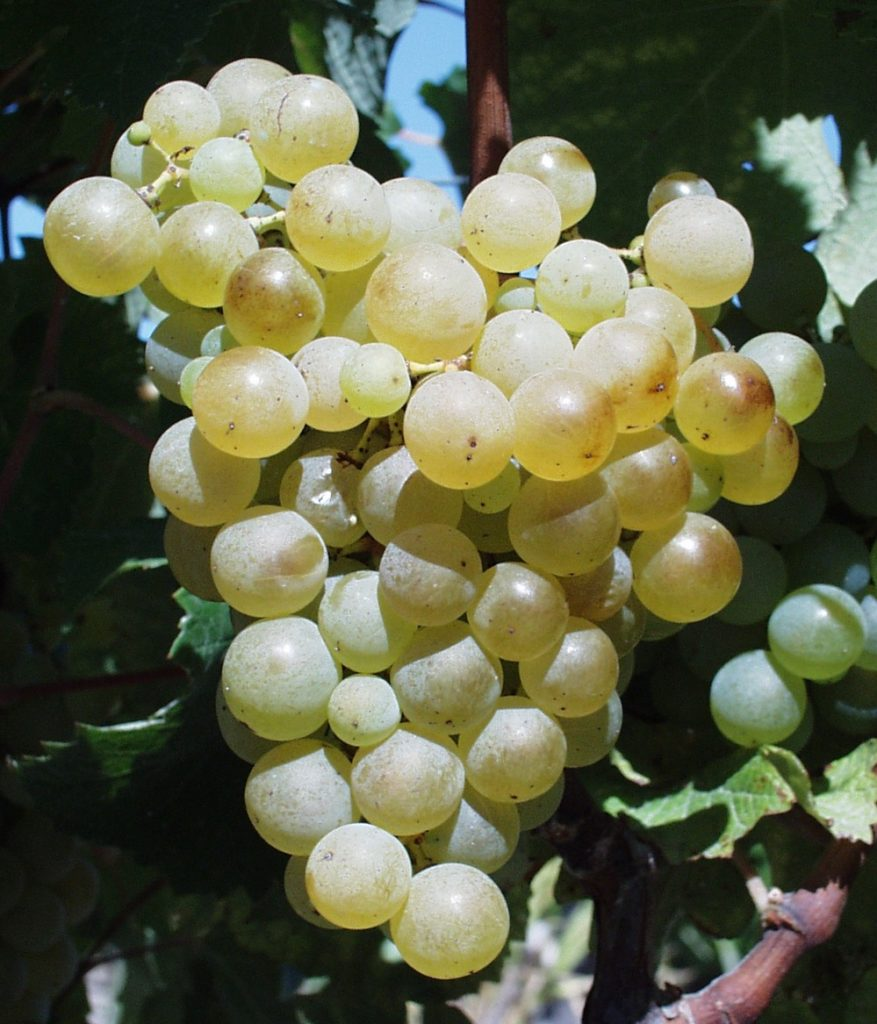 Semillon international grape variety.