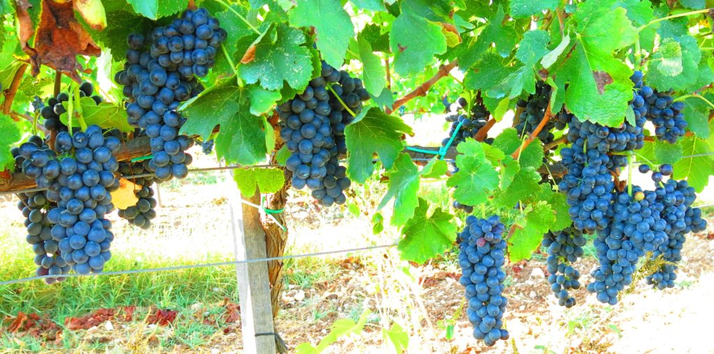 Shiraz grape variety from Fikardos Winery in Cyprus.