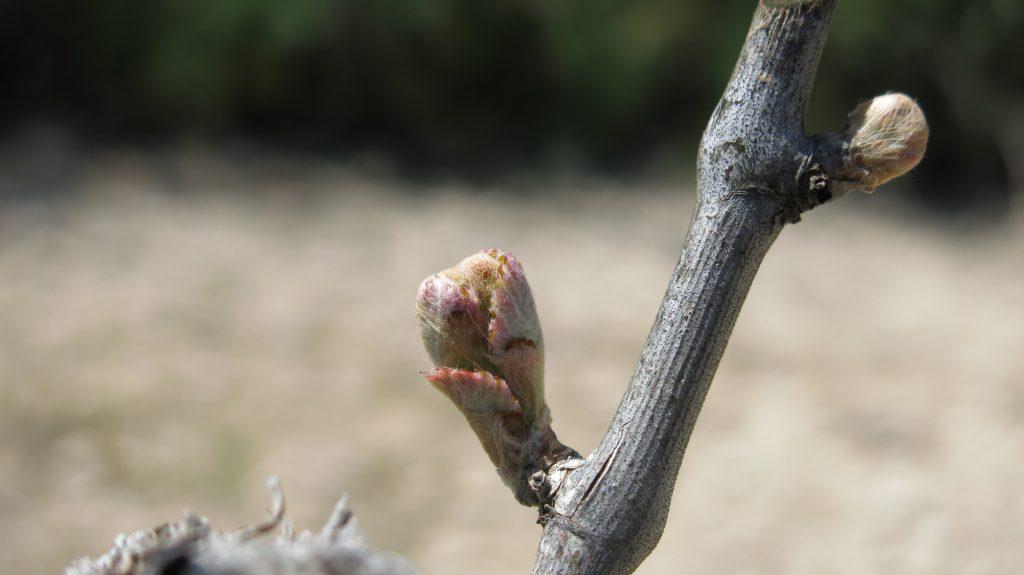 Bud break Altesse fikardos paphos wine region cyprus